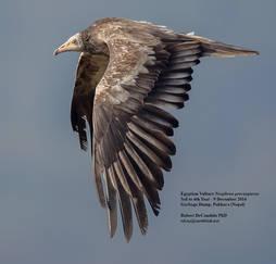 Vulture.Egyptian.9Dec2014n.jpg