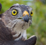 Sparrowhawk.Japanese.Juvenile.male.head.21Sep2012b.jpg