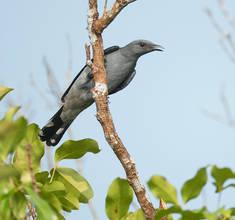 Cuckoo.Shrike.16Oct2014.jpg