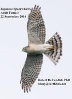 Sparrowhawk.Japanese.female.22Sep2014b.jpg