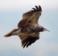 Vulture.Egyptian.juvenile.side.1Dec2012b.jpg