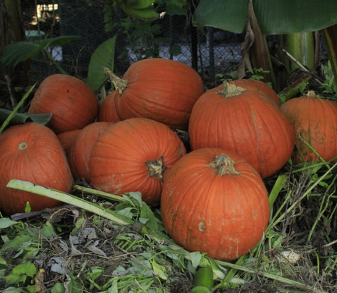Nothing goes to waste. Leftover Halloween pumpkins, already rotting, become compost.