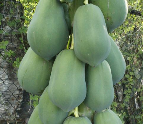 Papayas to share!