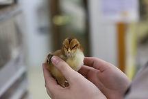 Chick.JPG