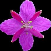 Blomst-fritlagt-farve.png