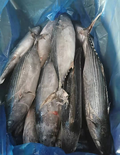 frozen tuna bonito WR.png