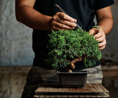 Hands pruning a bonsai tree on a work ta