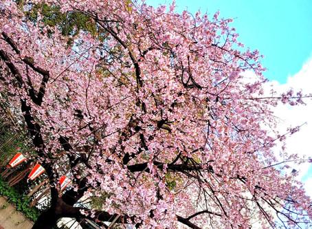 日本一のお花見スポット、上野公園へお散歩!