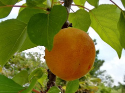 pick your own apricots