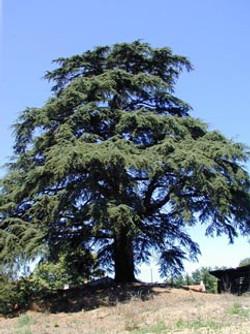 le cedre tree
