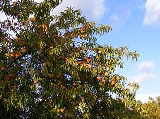 delicious peaches in the garden