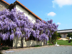 wisteriaby the boule court