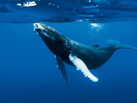 La Baleine à bosse fait son Show !