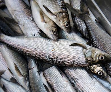 Dori Maier Fischerei Ambach Starnbergersee See Fischerei Huber Räuchrfisch Fischplatte Fischladen Tradition Rezepte Lierferung Fischer Martin Maier Fische