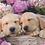 Thumbnail: Ravensburger Пазл на 300 элементов  Милые собачки в корзинке