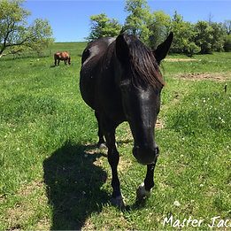 Master Jack - Equine Assisted Learning Teacher - Equineimity