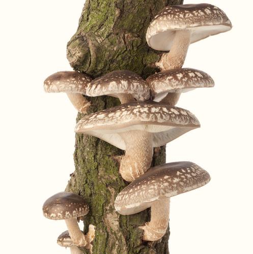 Shiitake Sawdust Spawn (1Kg Bags) | mushroompeople