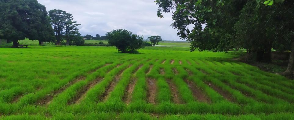 20200724_viveiros arroz uncur (6).jpg