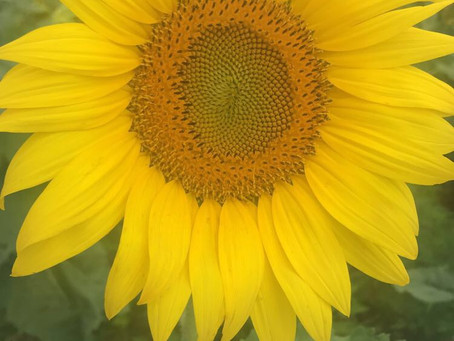 #JoinUs:Day 22 Of AMonth OfSonny: Sunflowers