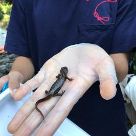 林村河考察-香港蠑螈是兩棲類。牠是指標生物,只在低污染的河流中生活