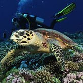 turtle-moorea-scuba-diving.jpg