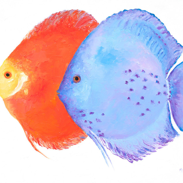 Orange and Blue Discus fish