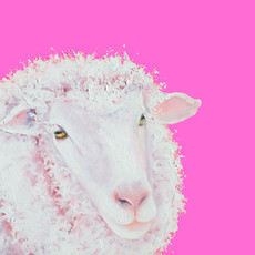 Merino Sheep on a pink background