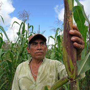 Día Nacional del Maíz: La REPSERAM diseña soluciones locales para preservar la agrobiodiversidad