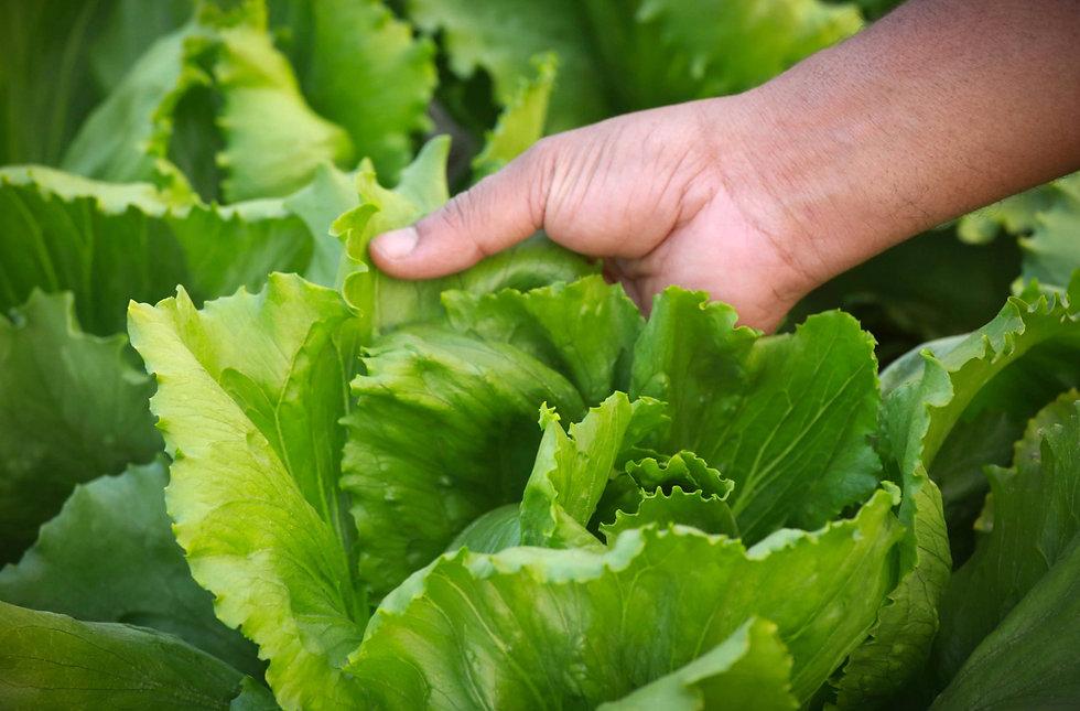 lettuce 7.jpg