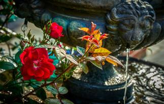 water & roses