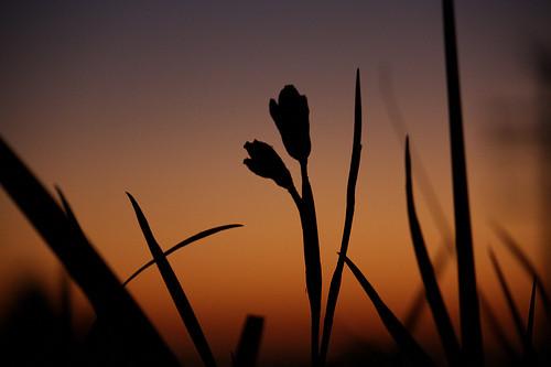 夕闇を背景にした草花のシルエット