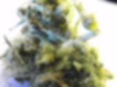 cultivo de maconha com frio