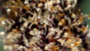 tricomas-hora-da-colheita
