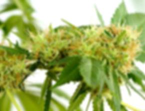 hora-da-colheita-cannabis