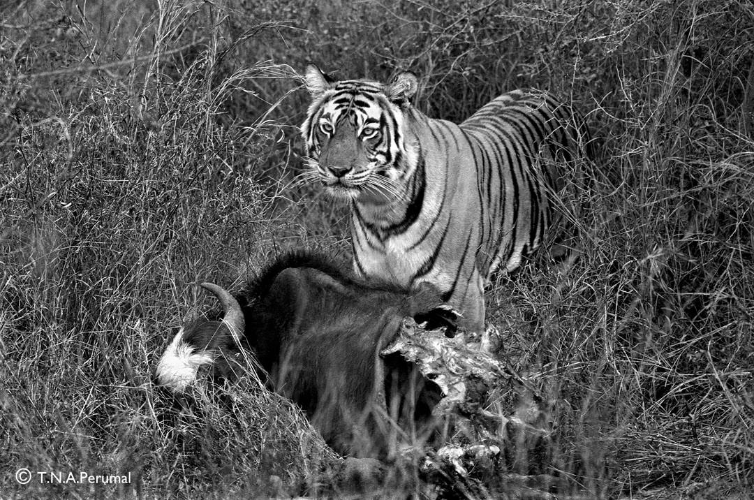 Tigress standing over a kill - T.N.A. Perumal.jpg