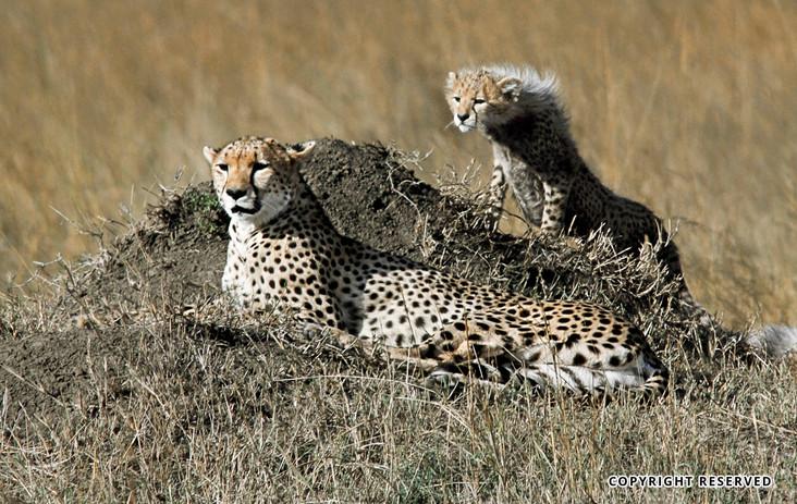 Cheetahs - Gul H Gulrajani.jpg