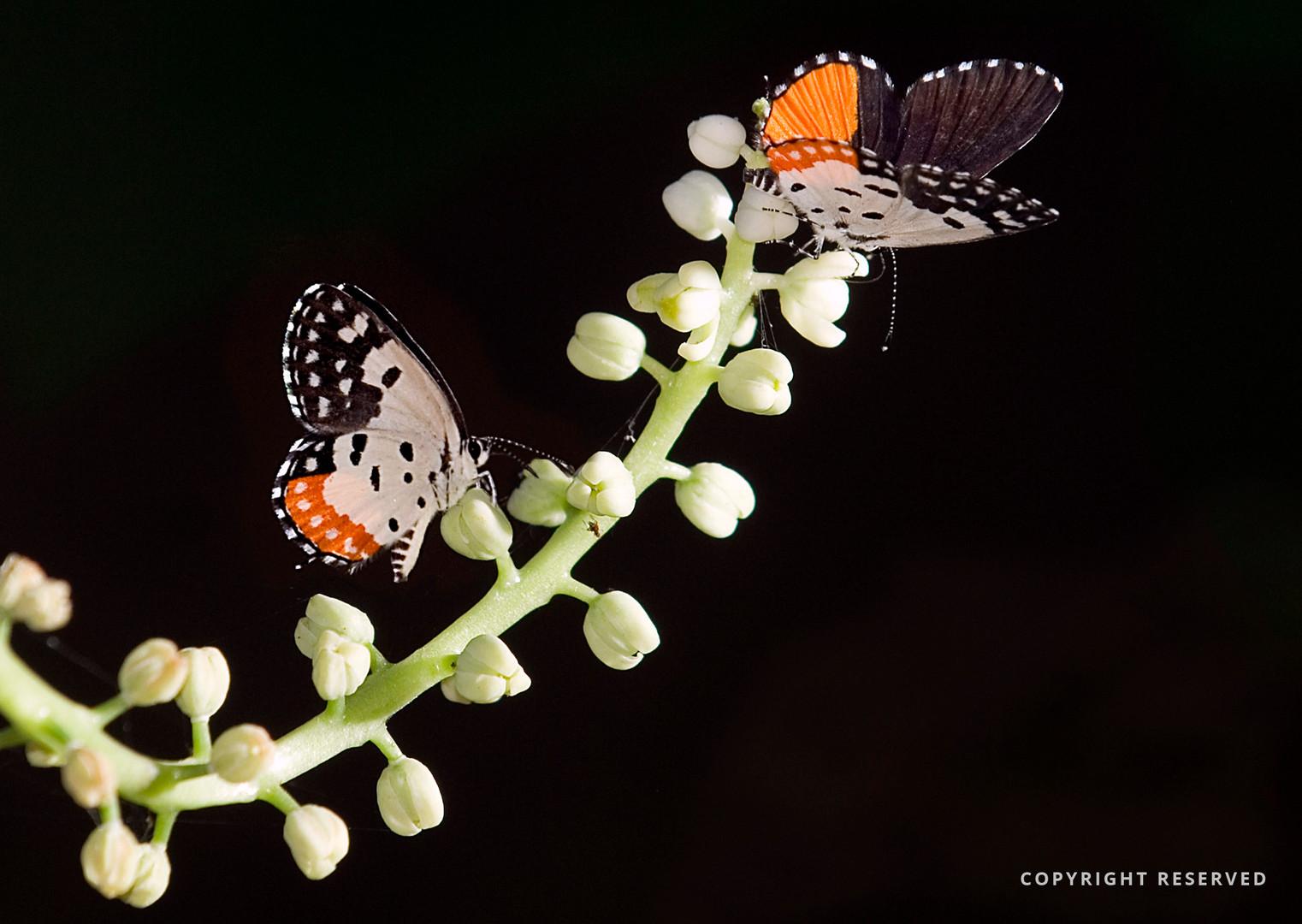 Butterflies- Hemshankar Pathak.jpg