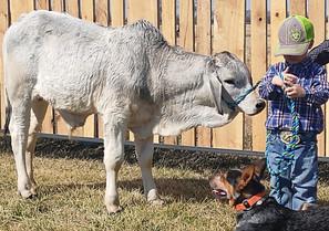 DeWitt = Registered bull calf.jpg