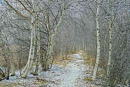 Winter Birches   (W205.jpg)
