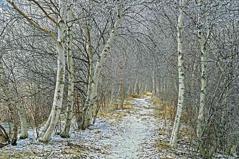 Winter Birches   (W205.jpg)