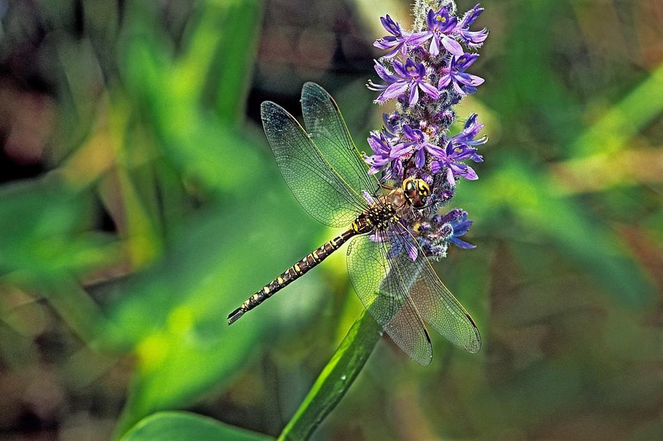 Dragonfly   (C343.jpg)