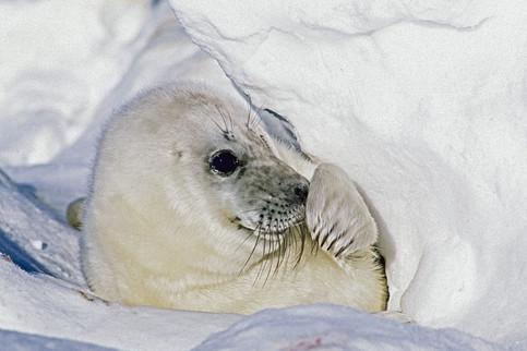 Seal Pup   (C375.jpg)