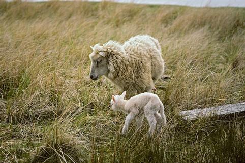 Sheep and Lamb   (C46.jpg)