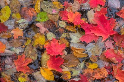 Fall Leaves   (A14046.jpg)