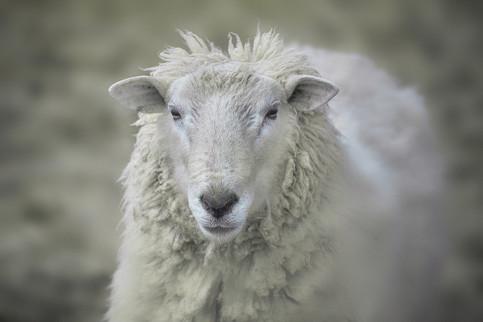 Sheep   (C19080.jpg)