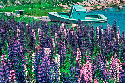 Lupins and Boat   (F31.jpg)