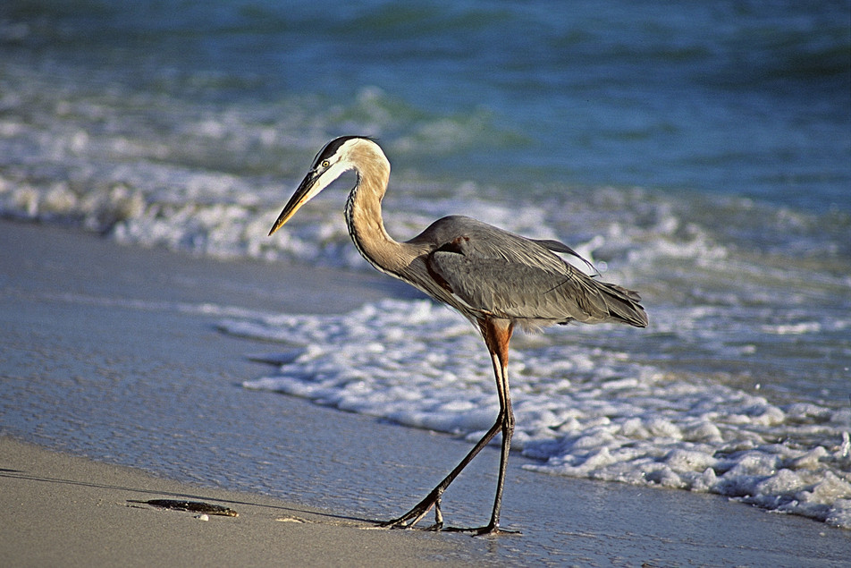 Blue Heron   (C327.jpg)
