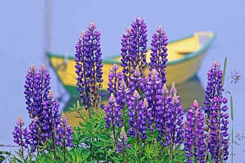 Lupins and Dory     (F294.jpg)