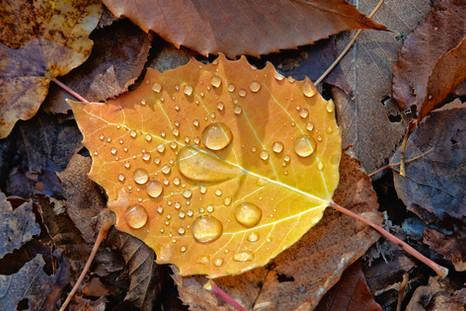 Fall Leaf   (A20082.jpg)