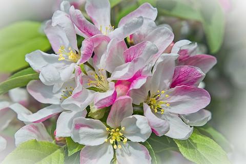 Apple Blossoms   (F14022.jpg)